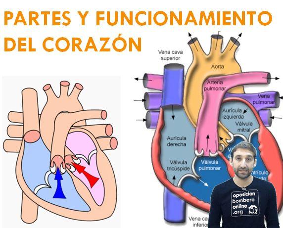 PARTES Y FUNCIONAMIENTO DEL CORAZON